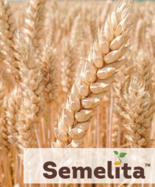 Пшениця озима мулан