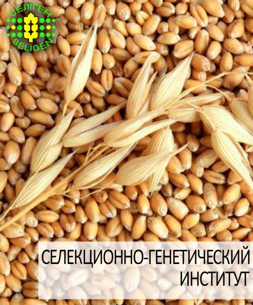 пшеница озимая ЗОЛОТОЕ РУНО одесской селекции