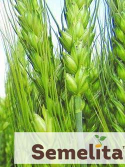 Пшениця озима БОДІЦЕК, Чехія