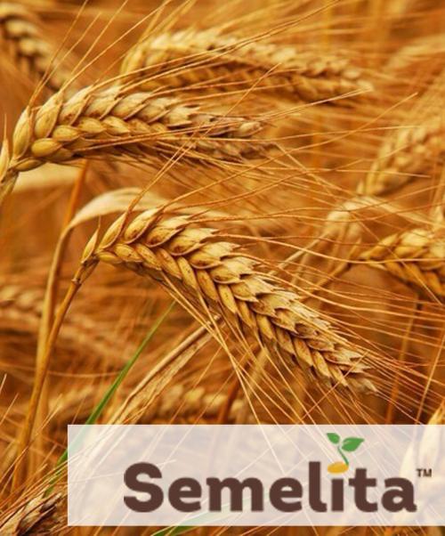 Пшениця озима ЮЛІЯ, Чехія