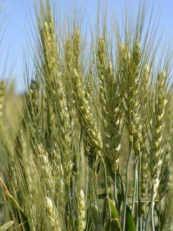пшеница озимая ЗИСК семена купить