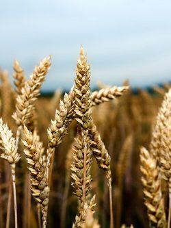 пшеница озимая МИССИЯ ОДЕССКАЯ семена купить