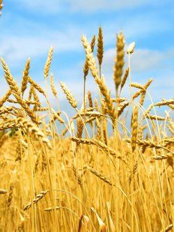 пшеница озимая АНТОНОВКА семена купить
