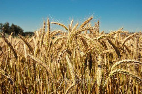 пшеница озимая ЩЕДРОСТЬ ОДЕССКАЯ семена купить