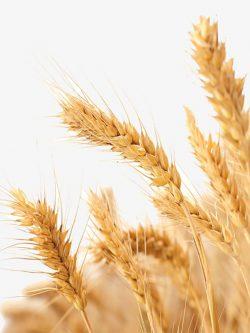 пшеница озимая ЖИТНИЦА ОДЕССКАЯ семена купить
