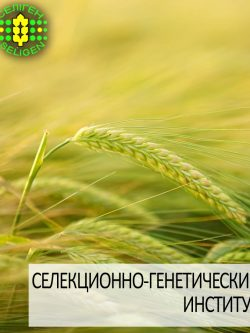 ячмень озимый АЙВЕНГО одесской селекции