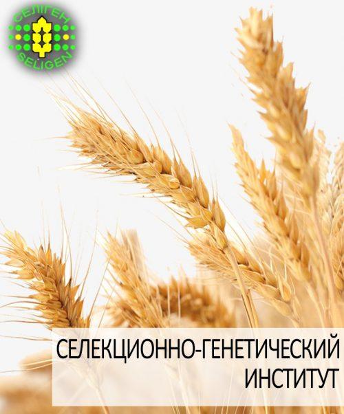 пшеница озимая ЖИТНИЦА ОДЕССКАЯ одесской селекции