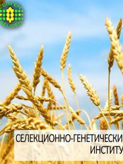 пшеница озимая АНТОНОВКА одесской селекции