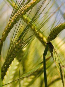 ячмень озимый ДЕВЯТЫЙ ВАЛ семена купить