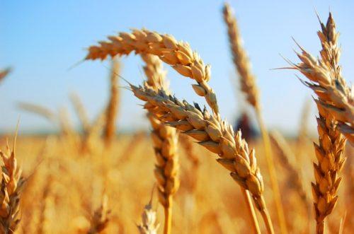 пшеница озимая СГИ-100 семена купить