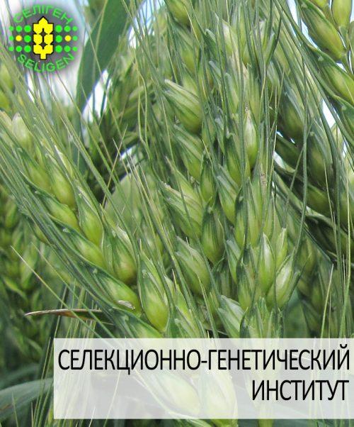 пшеница озимая КНОПА одесской селекции
