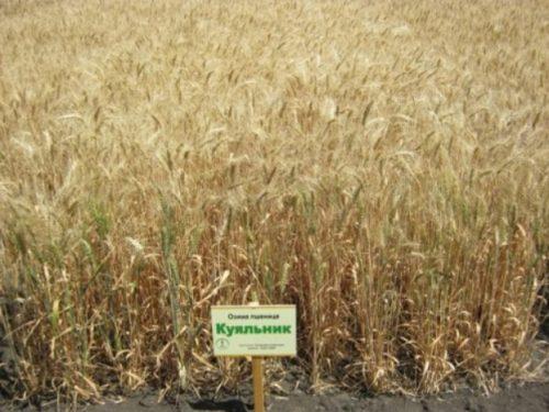 пшеница озимая МУДРОСТЬ ОДЕССКАЯ семена купить