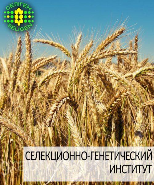 пшеница озимая ЩЕДРОСТЬ ОДЕССКАЯ одесской селекции