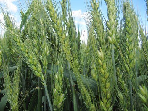 пшеница озимая КНОПА семена купить