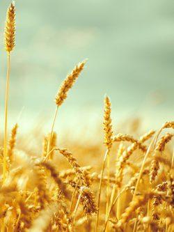 пшеница озимая ЛИРА ОДЕССКАЯ семена купить