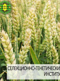 пшеница озимая ЖУРАВКА одесской селекции