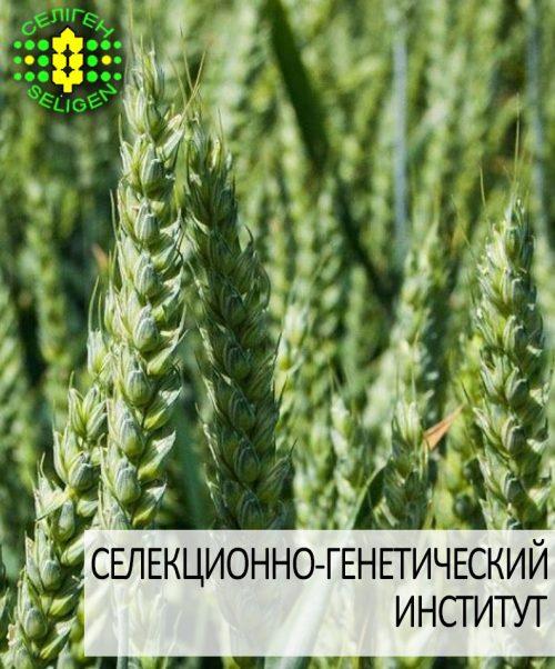 пшеница озимая РОЗКВИТ одесской селекции