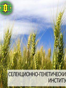 пшеница озимая ЭРА ОДЕССКАЯ одесской селекции
