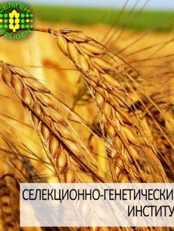 пшеница озимая КУЯЛЬНИК одесской селекции