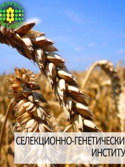 пшеница озимая МУДРОСТЬ ОДЕССКАЯ одесской селекции