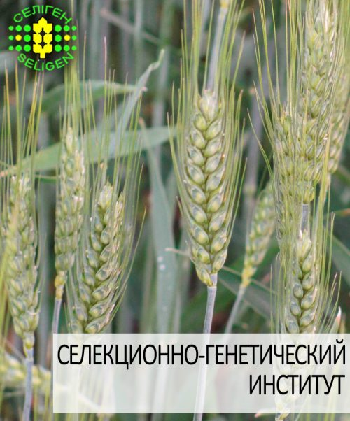 пшеница озимая НАСНАГА одесской селекции
