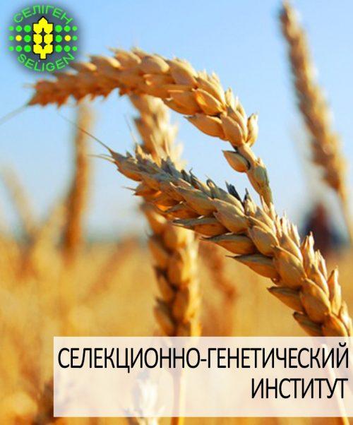 пшеница озимая СГИ-100 одесской селекции