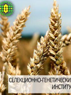 пшеница озимая МИССИЯ ОДЕССКАЯ одесской селекции