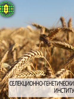 пшеница озимая ЛИРА ОДЕССКАЯ одесской селекции