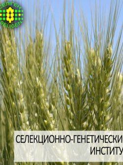 пшеница озимая ЗИСК одесской селекции