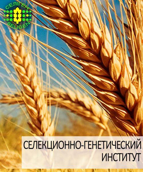 пшеница озимая ВИГЕН одесской селекции