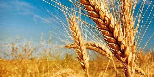 пшеница озимая ВИГЕН семена купить
