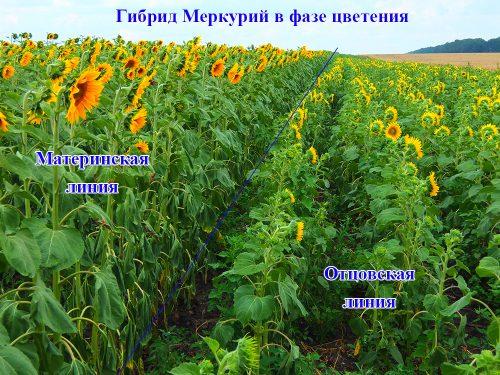 Подсолнечник Меркурий OR фаза цветение