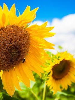подсолнечник МЕРКУРІЙ OR классической технологии выращивания семена купить