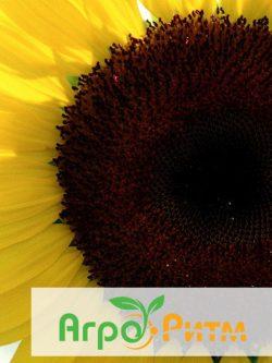 подсолнечник ЛЮБАШ классическая технология выращивания