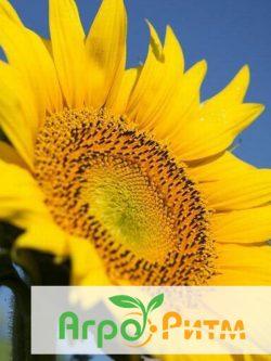 подсолнечник СОЛТАН классическая технология выращивания