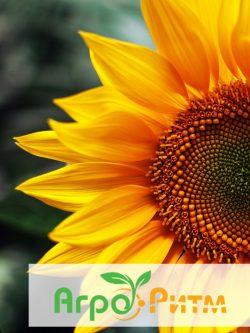 подсолнечник ЯНИШ-Н классическая технология выращивания